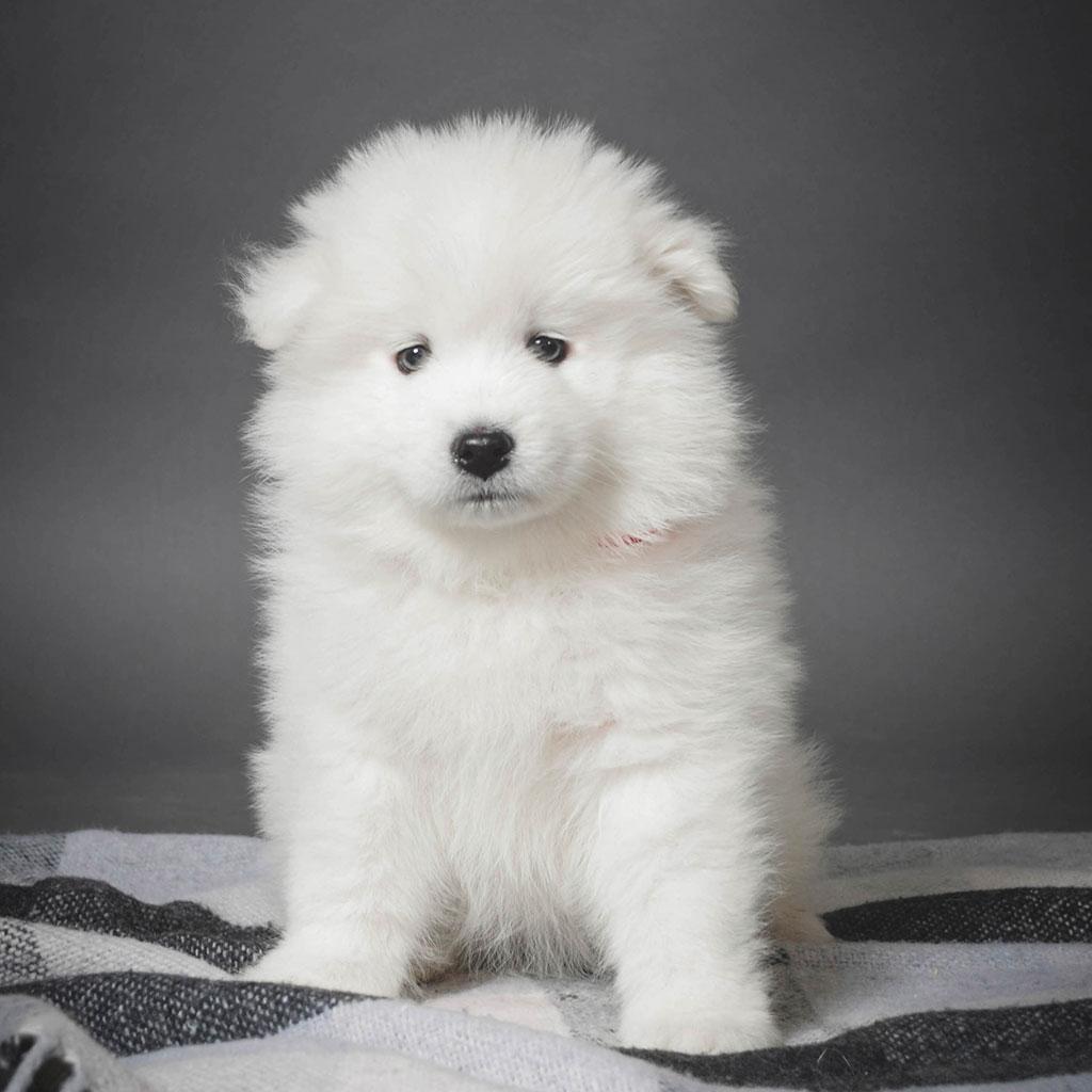 Samville samoyed Puppy